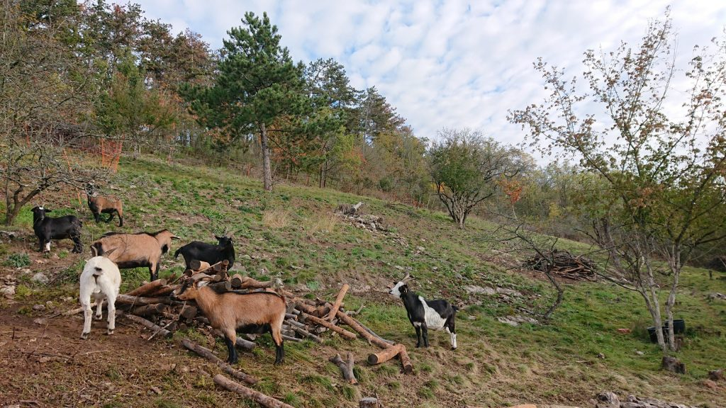 Pastva koz v NPR Koda
