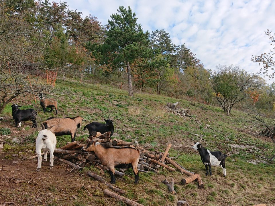 Pastva koz v evropsky významné lokalitě Karlštejn-Koda