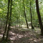 Výmladkový les v NPR Karlštejn-Koda
