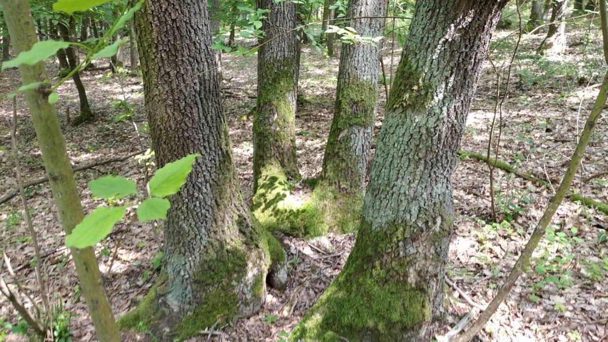 Marking in the coppice forest in Karlštejn-Koda National Nature Reserve. Photo by: Tereza Kočárková