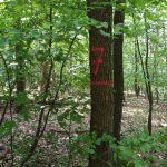 Značení ve výmladkovém lese v NPR Karlštejn-Koda. Foto: Tereza Kočárková