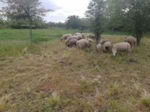 Pastva ovcí s cílem podpořit stav přírodního stanoviště v evropsky významné lokalitě Oblík-Srdov-Brník. Foto: Zdeňka Parýzková