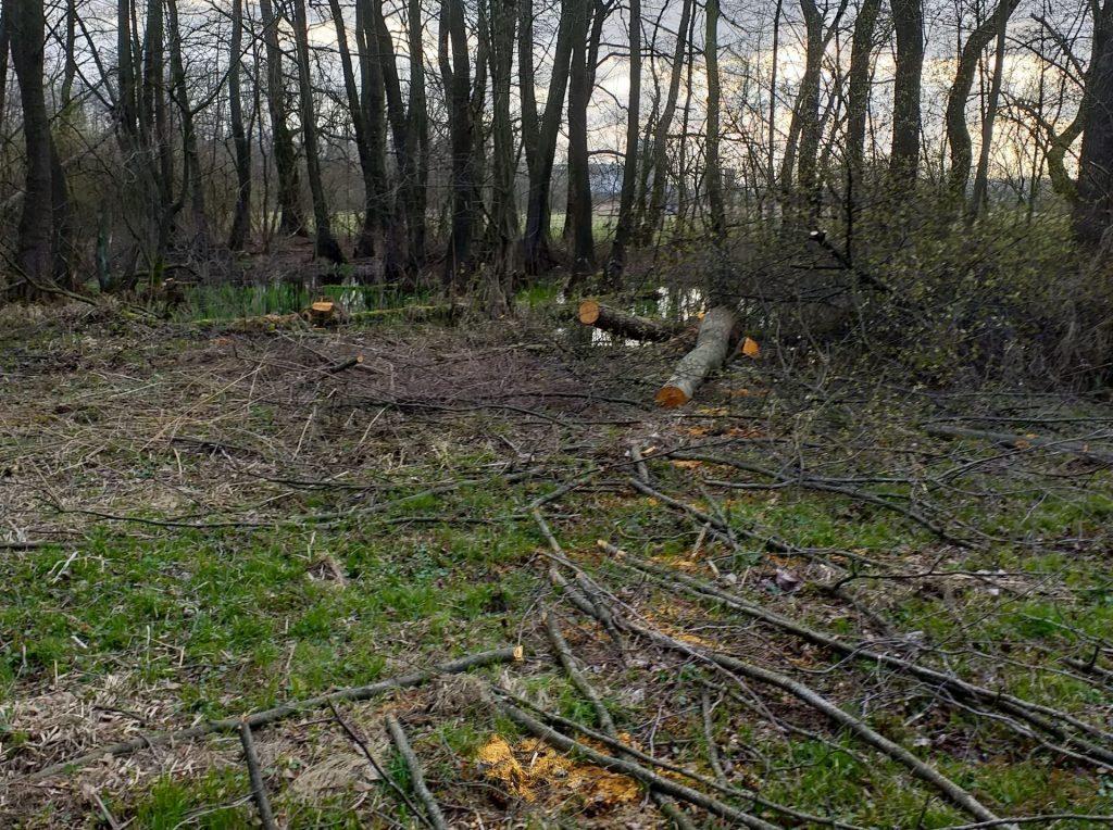 Vykácení 48 stromů, většinou olší lepkavých, a částečné prosvětlení tůně, kde žije čolek velký, a okraje louky, kde létají modrásek bahenní a ohniváček černočárný, v evropsky významné lokalitě Litovelské Pomoraví. Foto: Lenka Gillová