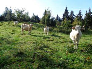 Pastva skotu na Ježovci v evropsky významné lokalitě Beskydy. Foto: Dana Morcinková