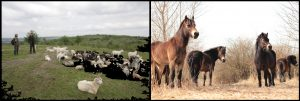 Grazing goats and wild horses. Photo: www.beleco.cz/militarylife