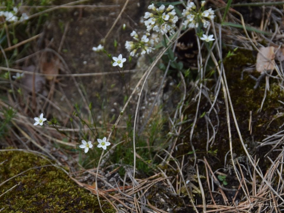 Blooming endemic Minuartia smejkalii. Photo: www.kuricka.cz