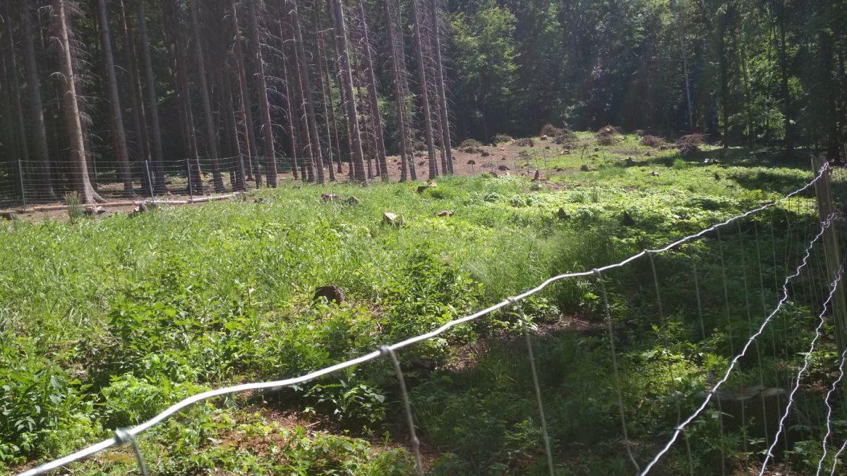 Oplocenka v EVL Bohyňská lada, Chmelník, Lotarův vrch. Foto: Zdeňka Parýzková