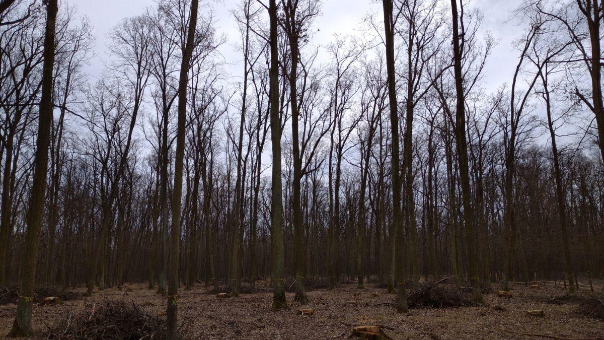 Jedna z ploch, kde bylo díky projektu Jedna příroda provedeno silné prosvětlení a in situ byli ponecháni vybraní zdraví a statní jedinci. Z hlediska ochrany přírody je cílem tvorba světlých lesů, nezbytných pro přežití teplomilných světlomilných lesních druhů rostlin i živočichů. Z pohledu lesích hospodářů je toto nadějný způsob, jak skloubit produkci dřeva s přirozeným způsobem obnovy lesa, a to jak generativně ze semen, tak i vegetativně formou výmladků. Foto: Tereza Kočárková