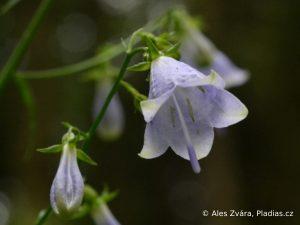 Zvonovec liliolistý. Foto: Aleš Zvára