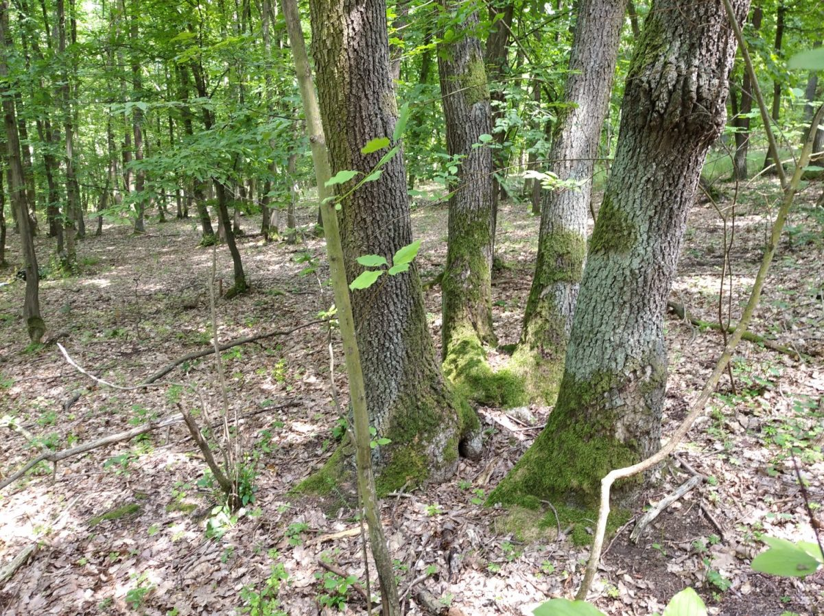 Výmladkový les v evropsky významné lokalitě Hodonínská doubrava. Foto: Tereza Kočárková