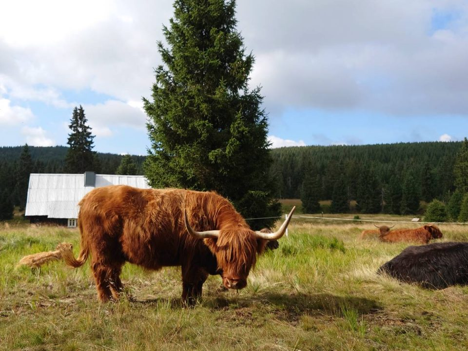 Pastva náhorního skotu v evropsky významné lokalitě Rašeliniště Jizerky. Autor: Martin Koláš